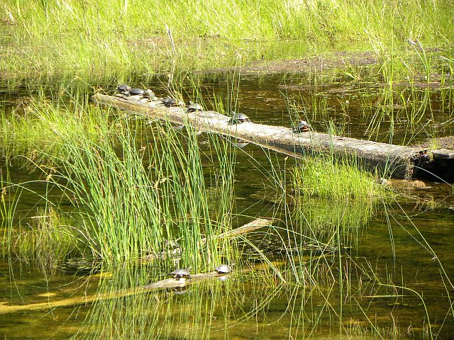 Turtles lined up on a log