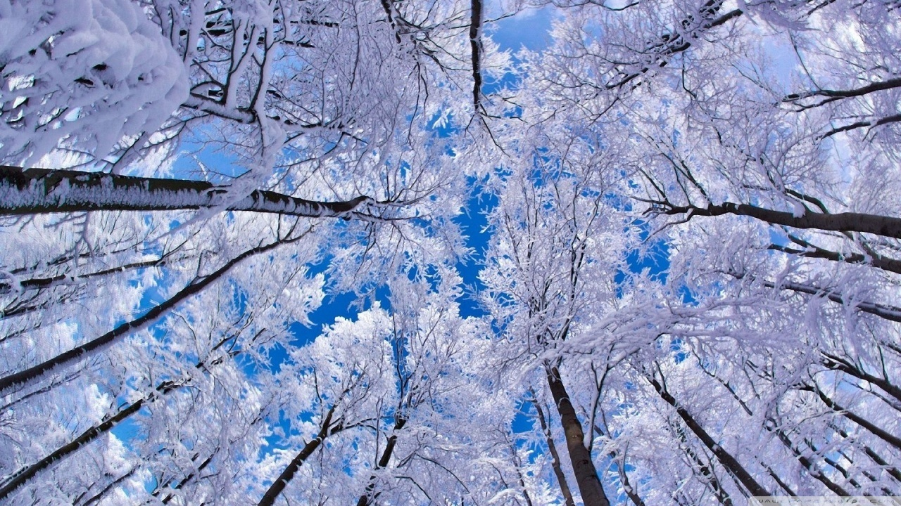 Snow covered tree tops looking upward