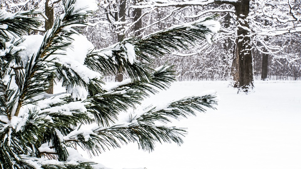 snow on evergreen trees